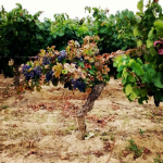 The fruit of the Languedoc!